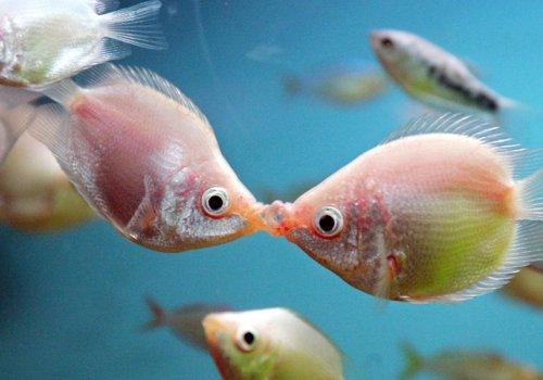 Гурами целующийся (розовый)