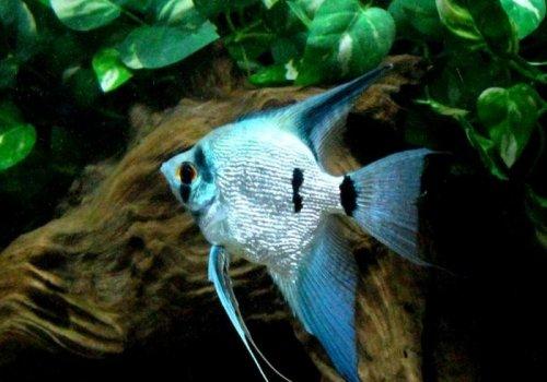 Скалярия голубой жемчуг (Scalare Blue Pearl)