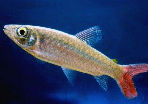 Хальцеус краснохвостый (Chalceus macrolepidotus)