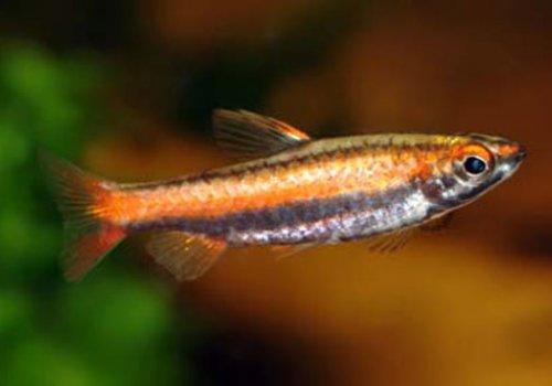 Нанностомус Мортенталера (Nannostomus mortenthaleri)